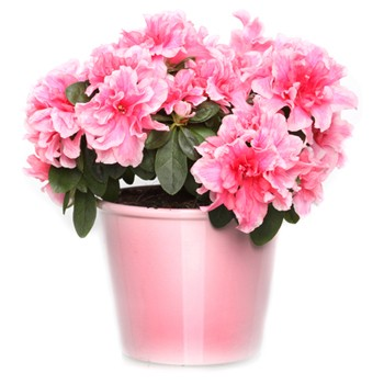 Azalea in a Planter